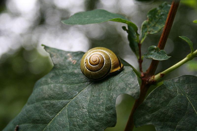 800px-Snail_on_a_leaf