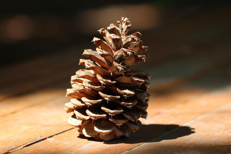 Pinus_ponderosa_cone,_Summerland,_British_Columbia