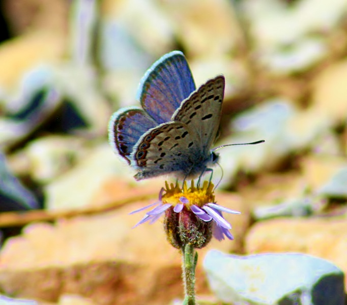 682px-Mt_Charleston_Blue_Butterfly