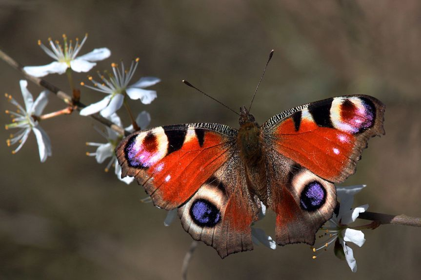 Peacock_butterfly_(inachis_io)_2
