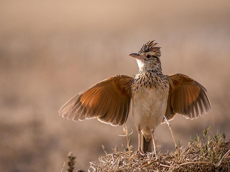 799px-Tanzania_-_Little_bird_(11122537064)