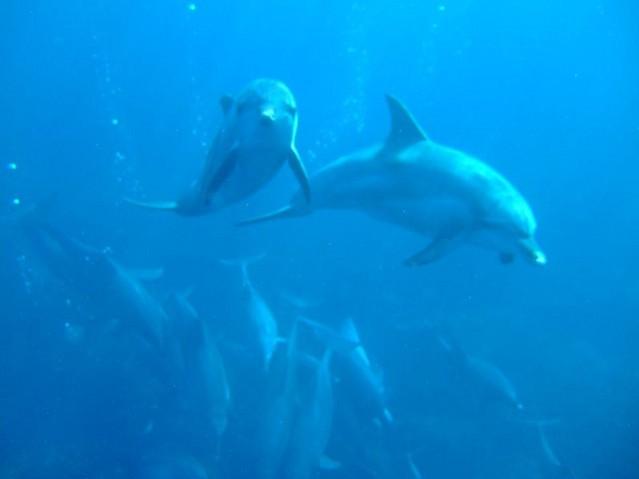 Dolphin_Mikurajima_Tokyo_Japan
