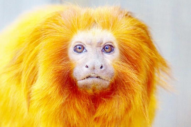 800px-golden_lion_tamarin_leontopithecus_rosalia