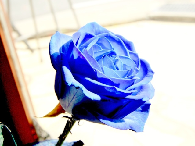 rs-bluerose1-1
