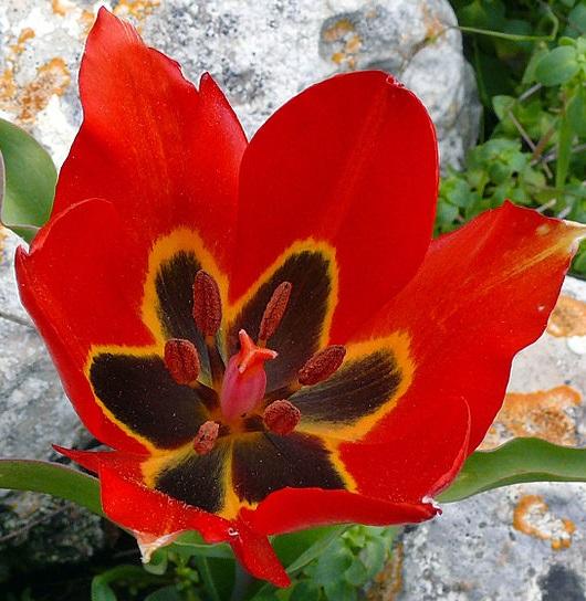 tulip_agenensis_ze