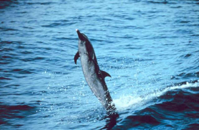 Pantropical_spotted_dolphin