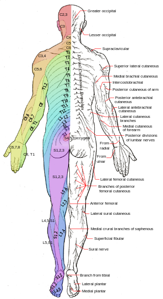Dermatomes_and_cutaneous_nerves_-_posterior.svg