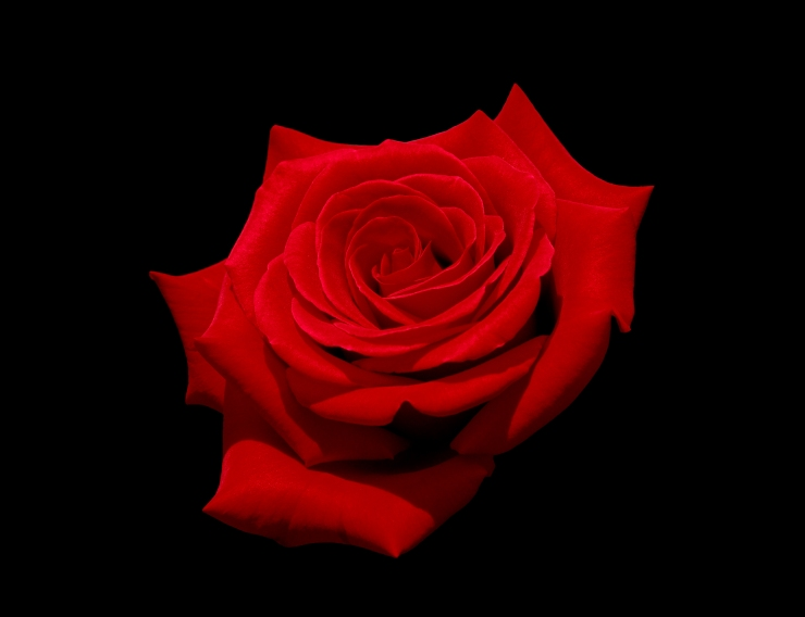 Red rose (Kardinal) with black background.