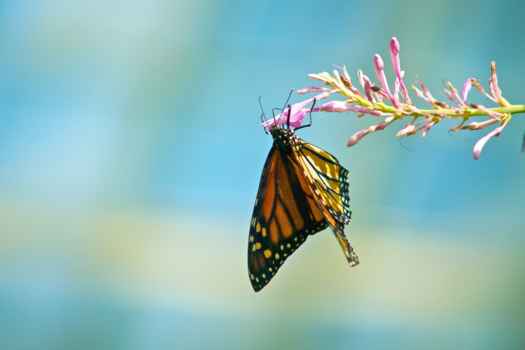 monarch-butterfly-on-flower-1402855094pwZ