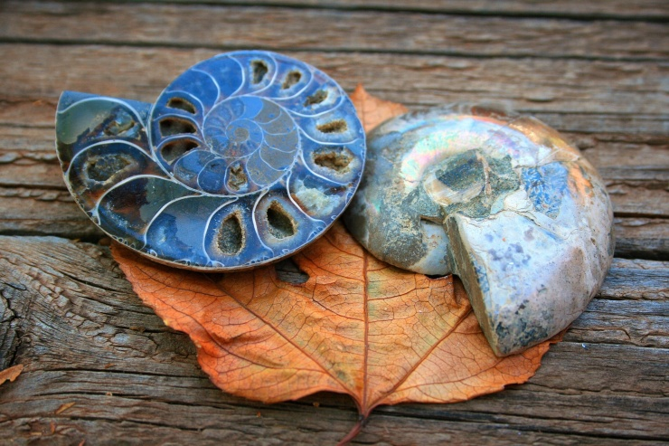 ammonite-fossil-halves